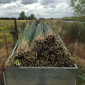 Cambridgeshire rush harvest July 2015